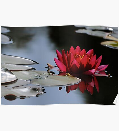 red water lily Poster