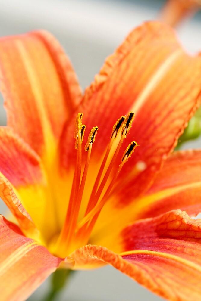 Orange Beauty by chrishawns