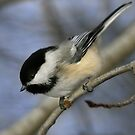 Chickadee at 45 degrees by Normcar