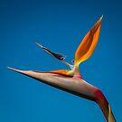 Bird-of-Paradise (Strelitzia) by Thaddeus Zajdowicz