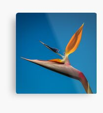Bird-of-Paradise (Strelitzia) Metal Print