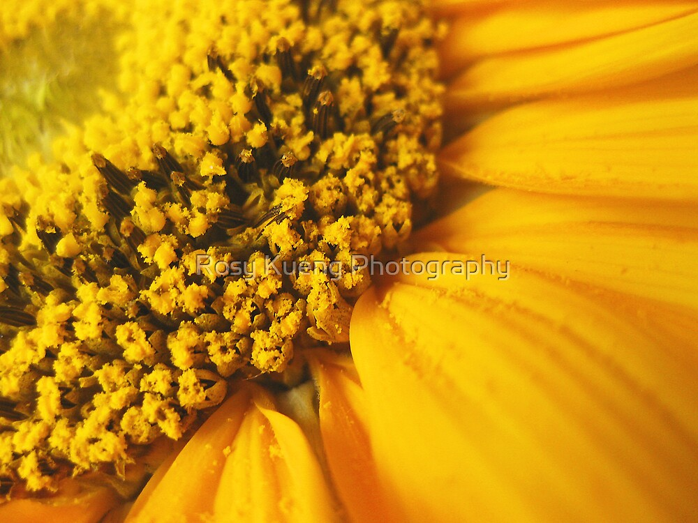 Sunflower by Rosy Kueng Photography