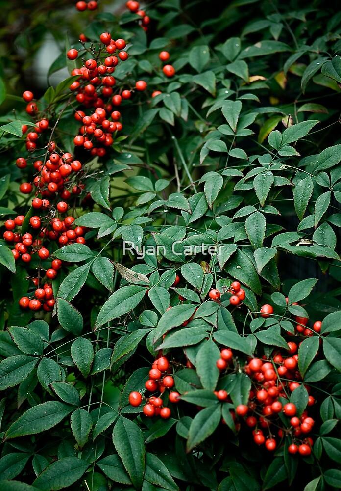 Red Berries by Ryan Carter