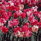 Red Tulips by psphotogallery