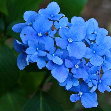 Blue Hydrangea by mlcltd