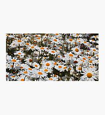 A Field of Oxeye Daisies Photographic Print