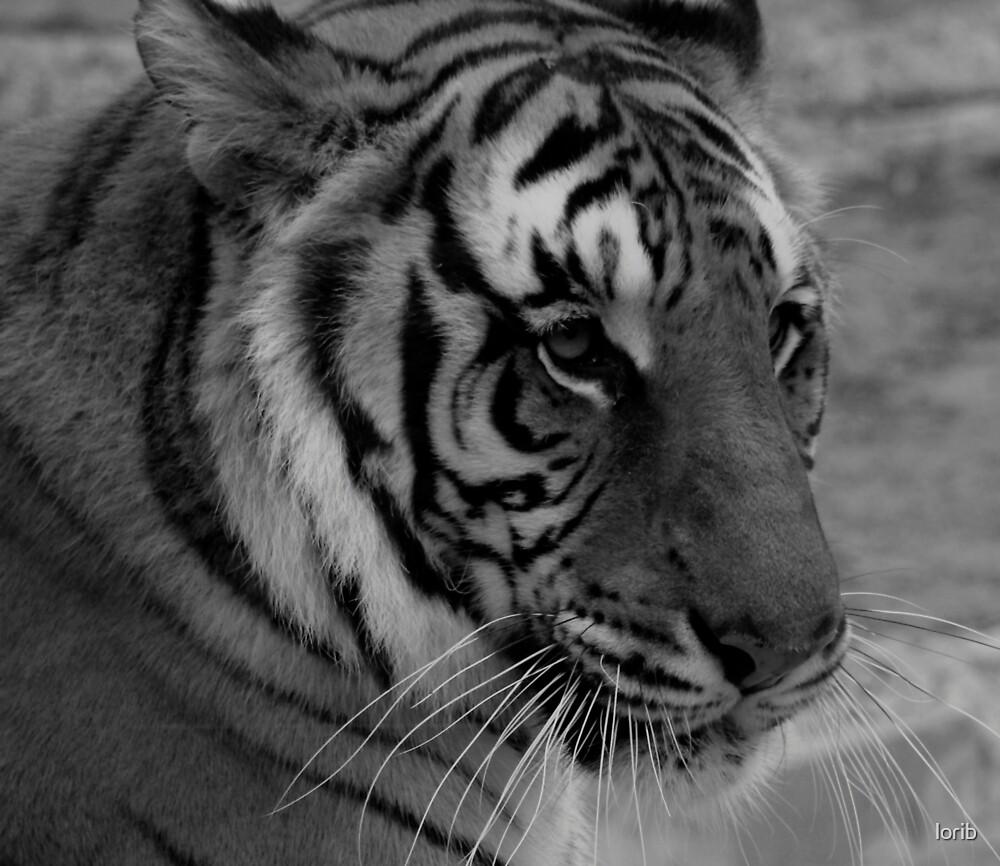 Bangel Tiger by lorib