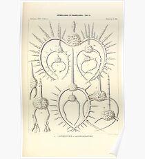 Die Radiolarien Rhizopoda radiaria eine Monographie Ernst Heinrich Haeckel Philipp August 1862 0479 Poster