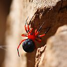Red & Black Spider by Martin Hampson