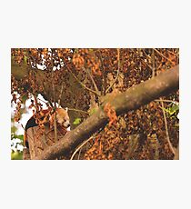 Red Panda Sleeping Photographic Print