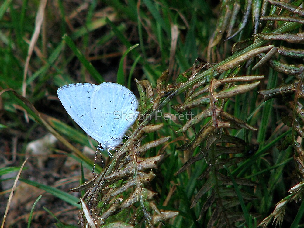 A Holly Blue by Sharon Perrett