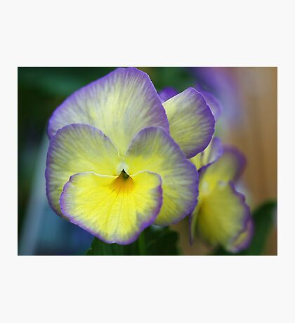 Viola -- Not Just Another Pretty Face Photographic Print