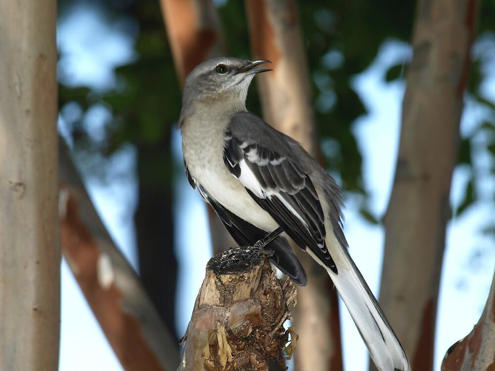 Mocking Bird by Cajunbrn67