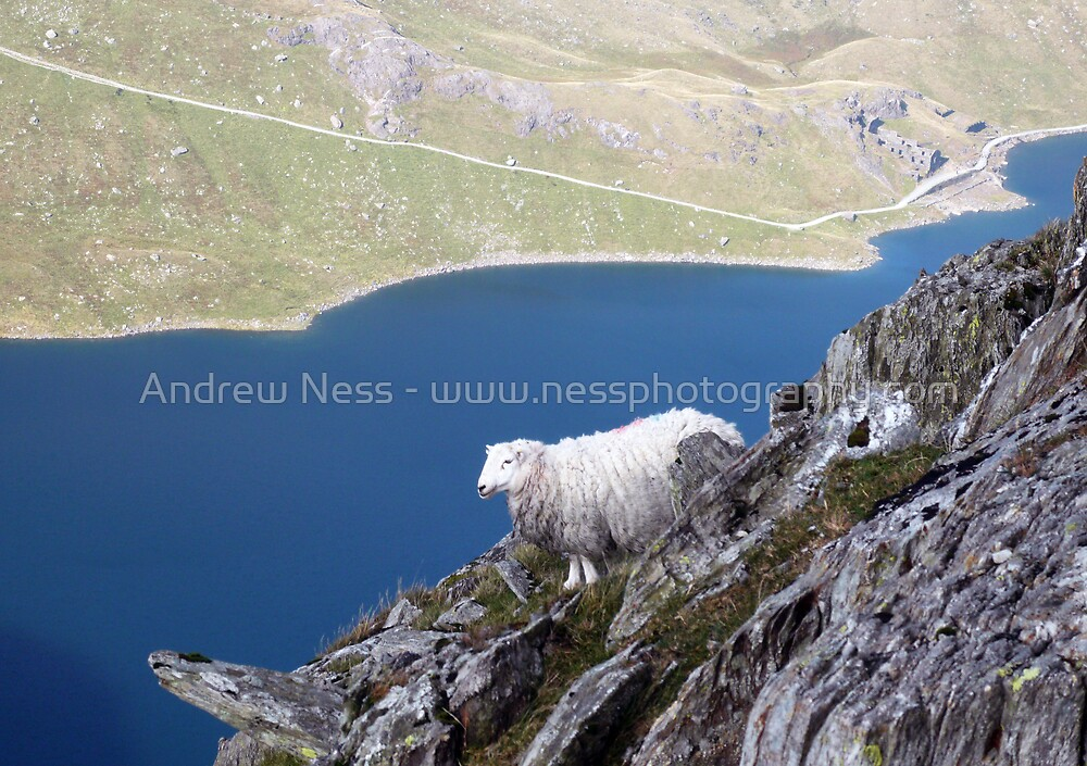 A Rock Climbing Sheep! by Andrew Ness - www.nessphotography.com