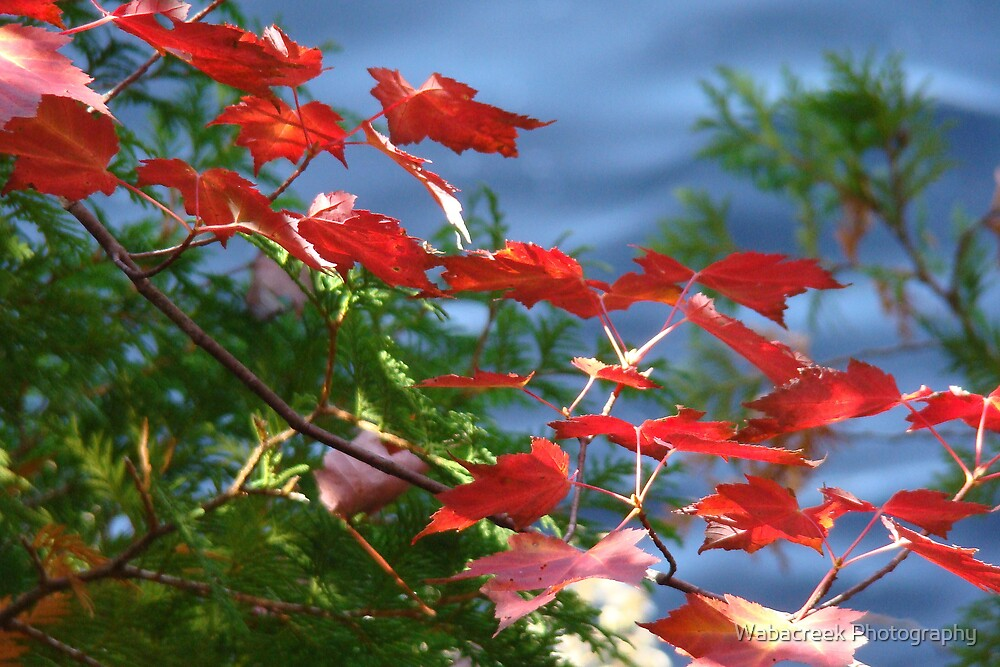 Red leaves by Jocelyne Phillips