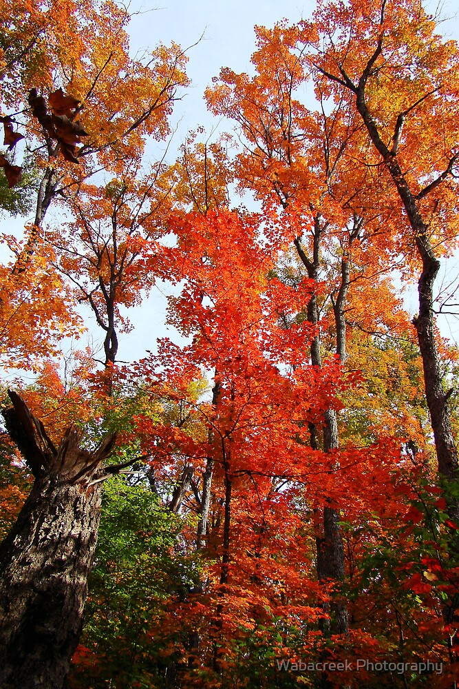 Fall Colours by Jocelyne Phillips