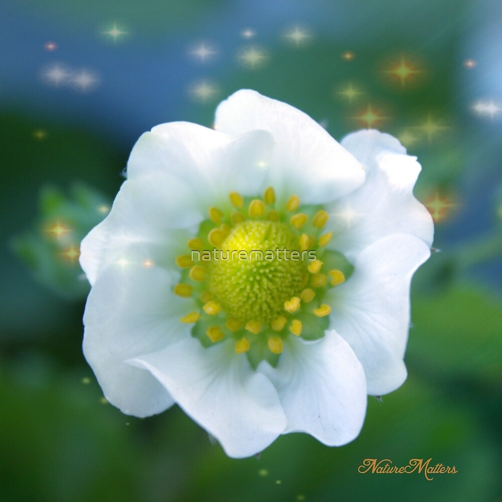 Pretty white strawberry flower in star background. by naturematters