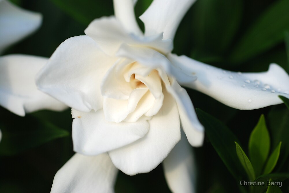Gardenia in the Early Morning by Christine Barry