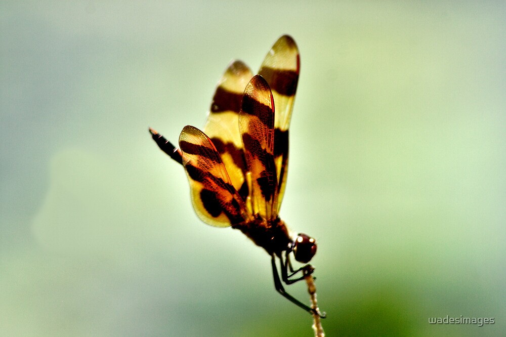 Dragon Fly in Brown 1 by wadesimages