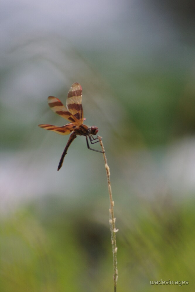 Dragon Fly in Brown V by wadesimages