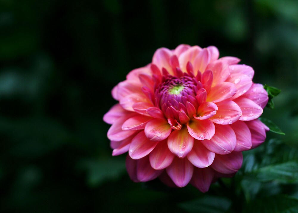 Pink Dahlia by mrshattery
