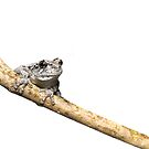 Gray Treefrog on Stick - whitebox by Dave Huth