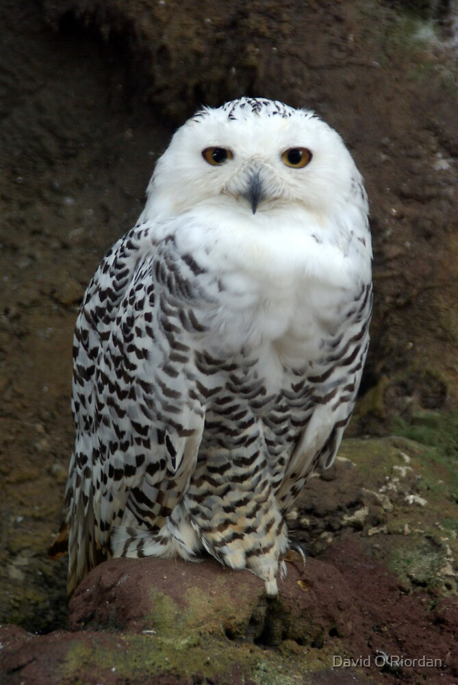 Snowy Owl by David O'Riordan