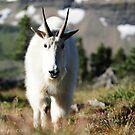 Mountain Goat, Glacier NP by artsphotoshop