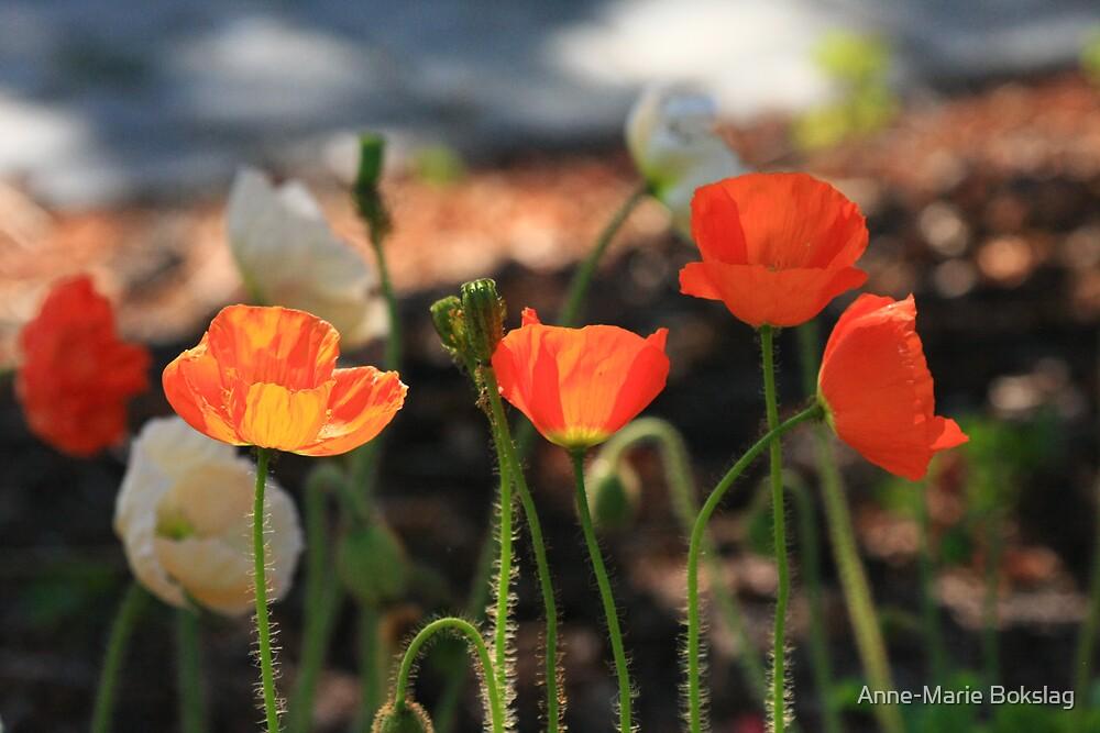 Poppies by Anne-Marie Bokslag