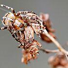 Garden Orb Spider by MendipBlue