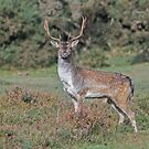 Fallow Buck by Alan Forder