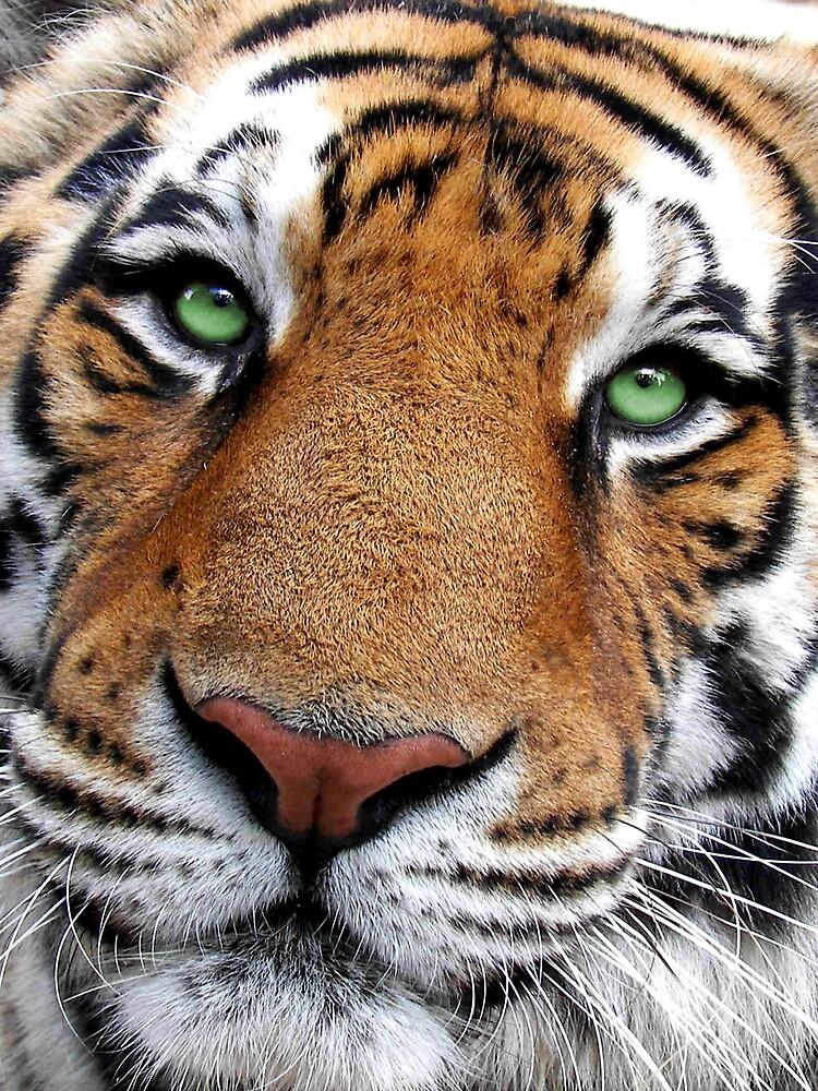 Tiger Face by dduhaime55