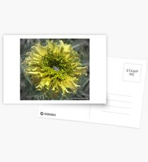 Yellow Marigold With Water Postcards