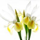 Irises by Rebecca Cozart