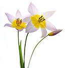 Tulip Trio by Rebecca Cozart