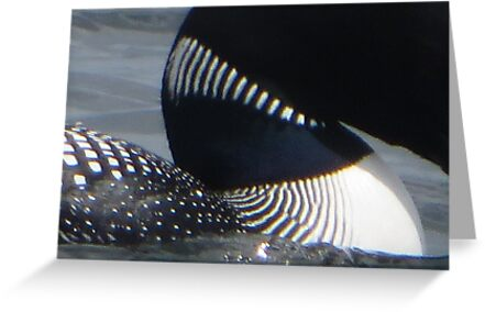 Loon Patterns by Thomas Murphy