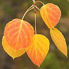 Aspen Leaves by Tamas Bakos