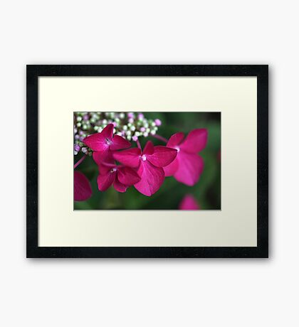 Hydrangea Strawberries & Cream Framed Print