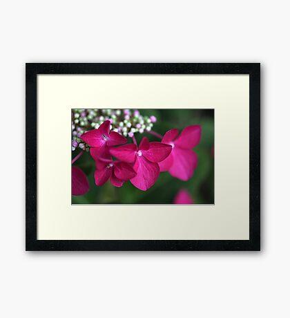Hydrangea Strawberries & Cream Framed Print