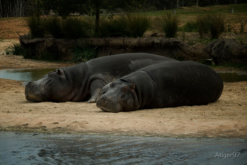hippos siesta by Atiger97