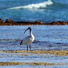 Australian White Ibis (4928) by Emmy Silvius
