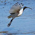 Australian White Ibis (4980) by Emmy Silvius