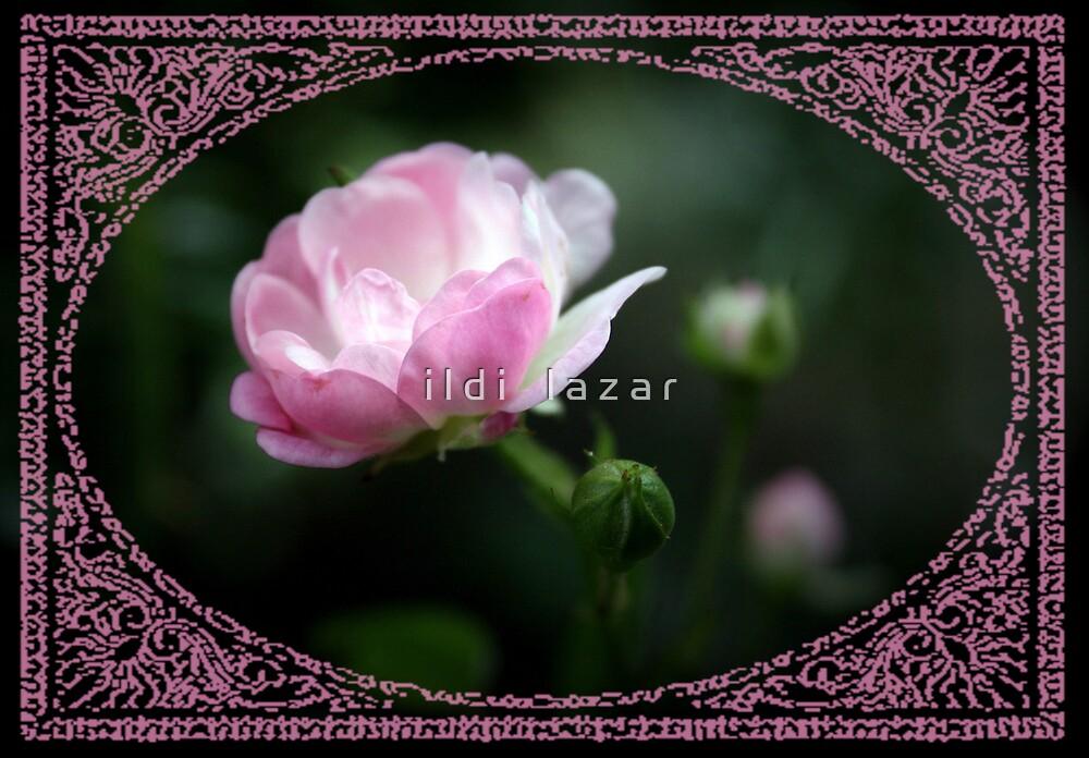 Fine rose by i l d i    l a z a r