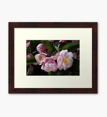 Crabapple Flowers Attract Bees Framed Print