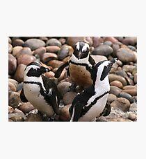 Penguin Pals Photographic Print