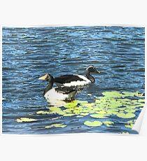 Ducks swimming Poster