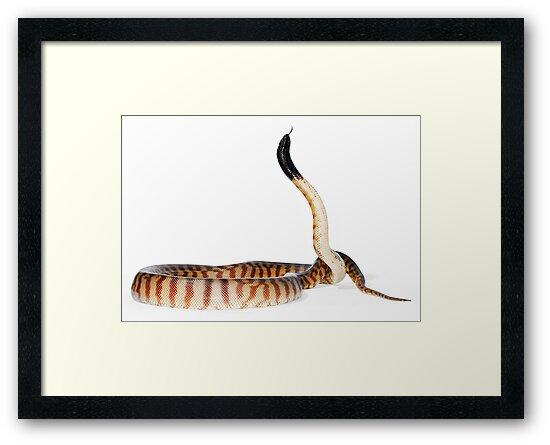 Black-headed Python (Aspidites melanocephalus) by Shannon Wild