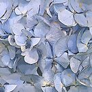 Blue Hydrangea Flowers by jacqi