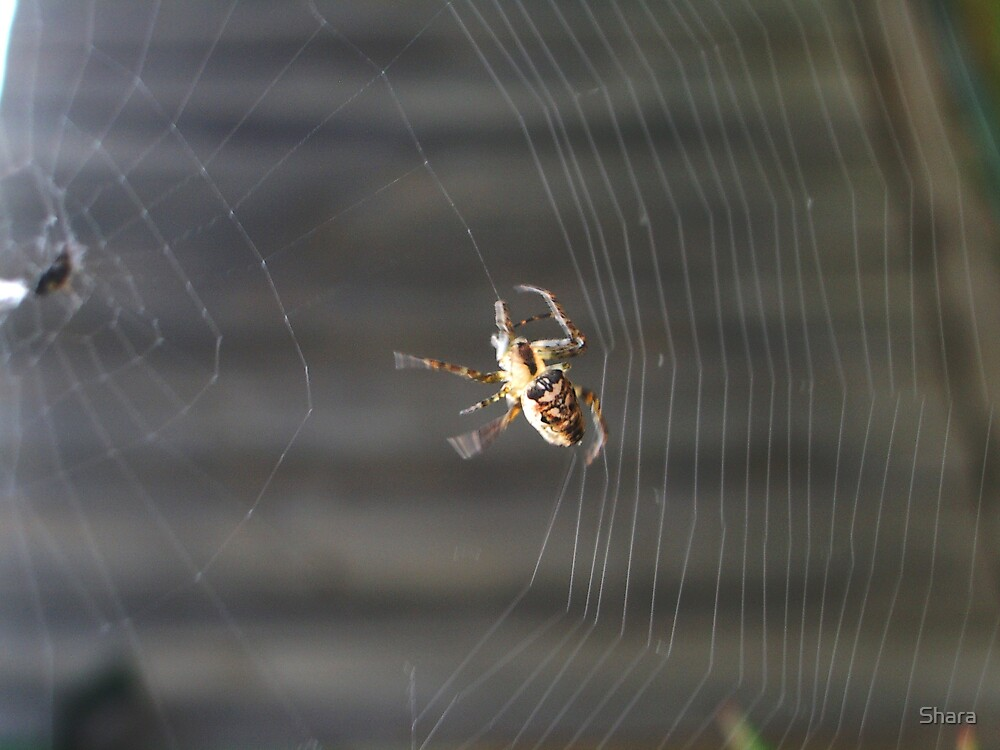 Spider Dancing by Shara