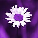 Purple Daisy by Pamela Jayne Smith